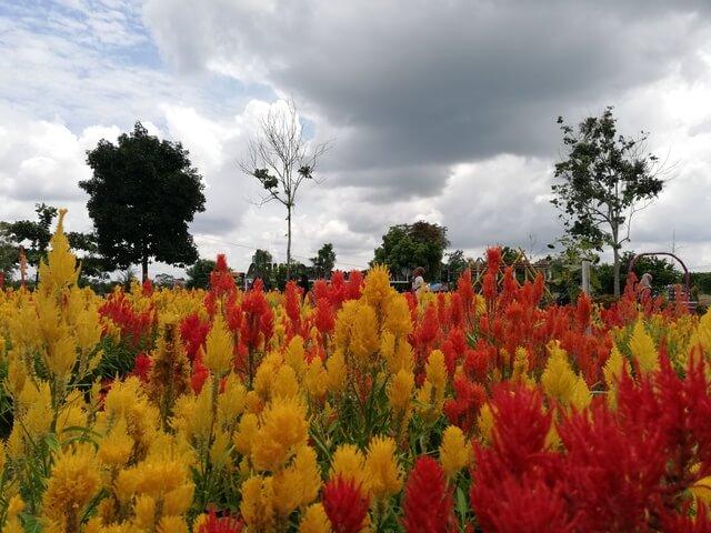 mengunjungi taman bunga impian okura pekanbaru